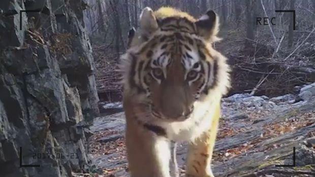 preview image for Von 50 auf 500: Sibirische Tiger erholen sich langsam